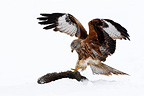 Red kite standing on its prey (rabbit) in the snow GB (Red Kite)