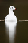Northern Black-headed gull swimming in autumn GB (Black-headed Gull)