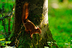 Red squirrel on the trunk of a beech in Normandy France (red squirrel)