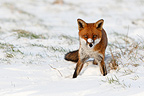 Red fox standing in a meadow covered with snow in winter GB (Red fox)