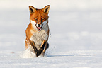 Red fox running in a meadow covered with snow in winter GB (Red fox)