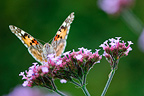 Painted Lady on a Valerian officinalis, Normandy, France