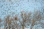 Flock in flight of Starlings in Provence during winter (Common Starling)