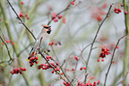 Waxwing eating a rowan in winter Belgium (Bohemian Waxwing)