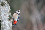 Male Great spotted woodpecker on the trunk of a birch winter (Great spotted woodpecker)