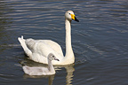 Whooper swan swimming with its young Scandinavia (Whooper Swan)