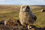 Young Eurasian Eagle-owl out of the nest, France
