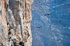 Flock of Griffon Vultures flying close to a cliff, France