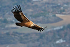 Griffon Vulture in flight, Drome, France
