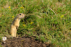 European Ground Squirrel standing near its burrow Serbia (European ground squirrel )