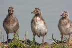 Chicks of Black-headed gull France (Black-headed Gull)