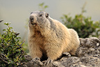 Alpine marmot observating on a rock France (Alpine marmot )