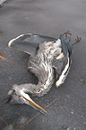 Grey heron dead because of cold on an icy pond Isere France (Grey Heron)