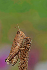 Italian locust standing on a dry flower Vaucluse France