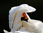 Mute Swan cleaning its feathers France  (Mute Swan)