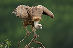Griffon vulture on a branch, Spain