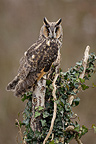 Long-eared owl on a tree, Spain
