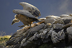 Griffon vultures on a carcass, Ordesa NP, Spain
