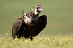 Cinereous vulture (Monk Vulture) on the ground, Spain