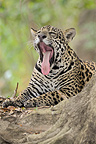 Jaguar yawning on roots Encontros das Aguas Pantanal Brazil� (Jaguar)