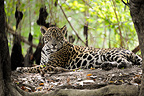 Jaguar lying and roots Encontros das Aguas Pantanal Brazil� (Jaguar)