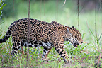 Jaguar walking Encontros das Aguas Pantanal Brazil� (Jaguar)