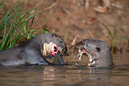Giant otter eating a fish in water Pantanal Brazil  (Giant otter )