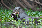 Giant otter eating a fish in water Pantanal Brazil� (Giant otter )