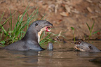 Giant otters eating a fish in water Pantanal Brazil� (Giant otter )