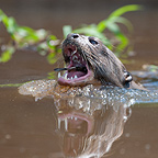 Giant Otter swallowing a fish Pantanal Brazil (Giant otter )