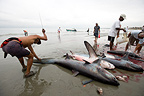 Cutting Shark caught on the beach Manabi Ecuador