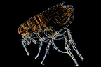 Microscopic view of male cat flea on black background