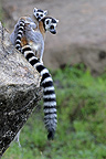 Tail ring-tailed lemurs in Anja park in Madagascar (Ring-tailed lemur)