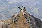 Group of Tail ring-tailed lemurs in Anja park Madagascar (Ring-tailed lemur)