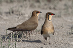 Pair of Collared pratincola on nesting territory (Collared Pratincole)