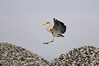 Grey Heron in flight between two mounds of stone (Grey Heron)