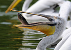 Dalmatian Pelican eating a fish.