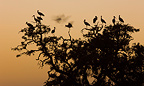White Storks resting on a tree at dusk.