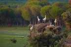 White Storks perched on a tree, Andalusia, Spain