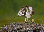 Osprey perched on its nest, Lapland, Finland