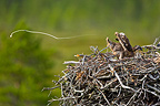Osprey chick on the nest defecating, Lapland, Finland.