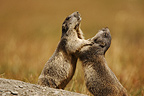 Two Alpine marmots playing, Alps, France.