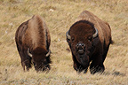 Couple of American bison with the male in rut Canada (American Bison)