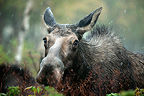Female moose feeding in the forest for the rut Quebec Canada (Moose)