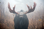 Bull Moose capturing odors during the rut Quebec Canada (Moose)