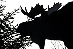 Bull moose feeding in the forest for the rut Quebec Canada (Moose)