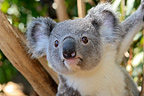 Portrait of a young Koala Australia (Koala )