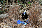 Satin Bowerbird on the nest Australia (Satin Bowerbird)