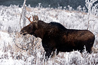 Young  bull moose in the forest for the rut Quebec Canada (Moose)