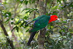 Australian king parrot on a branch Lamington NP Australia (Australian King-Parrot)